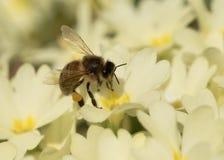 Abeja que recoge el polen en primerose Fotos de archivo libres de regalías