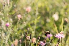 Abeja que recoge el polen en trébol en campo Fotos de archivo libres de regalías