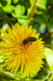 Abeja que recoge el polen en un diente de león de la flor Imágenes de archivo libres de regalías