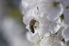 Abeja que recoge el polen en un flor rosado de la flor abeja en un wh Foto de archivo