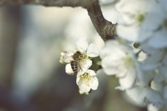Abeja que recoge el polen en un flor rosado de la flor abeja en un wh Imagen de archivo