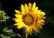 Abeja que recoge el polen en un girasol Fotos de archivo libres de regalías