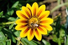 Abeja que recoge el polen en una flor Imagenes de archivo