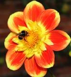 Abeja que recoge el polen en una flor Fotografía de archivo libre de regalías