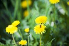 Abeja que recoge el polen en una flor amarilla del diente de león, cierre floral para arriba Foto de archivo libre de regalías