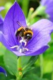 Abeja que recoge el polen en una flor azul Fotos de archivo