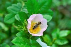 Abeja que recoge el polen en una flor de la planta silvestre Imagen de archivo