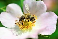 Abeja que recoge el polen en una flor de la planta silvestre Imagen de archivo libre de regalías