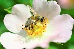 Abeja que recoge el polen en una flor de la planta silvestre Fotografía de archivo libre de regalías