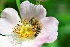 Abeja que recoge el polen en una flor de la planta silvestre Foto de archivo libre de regalías