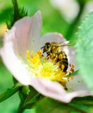 Abeja que recoge el polen en una flor de la planta silvestre Foto de archivo