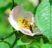 Abeja que recoge el polen en una flor de la planta silvestre Fotos de archivo