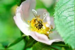 Abeja que recoge el polen en una flor de la planta silvestre Imágenes de archivo libres de regalías