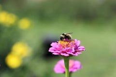 Abeja que recoge el polen en una flor del zinnia Foto de archivo libre de regalías