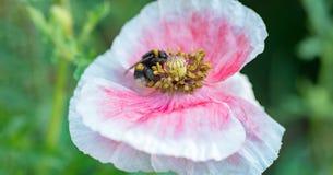 Abeja que recoge el polen en una flor púrpura Fotografía de archivo
