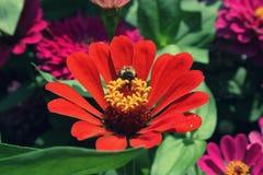 Abeja que recoge el polen en zinnias rojos en la estación de verano Imagen de archivo libre de regalías