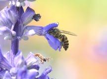 Abeja que recoge el polen y el néctar de una flor púrpura Fotos de archivo