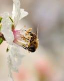 Abeja que recoge en los estambres de la flor mojada de la almendra Imágenes de archivo libres de regalías