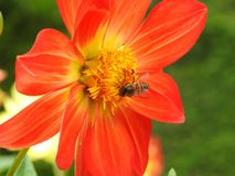 Abeja que recoge a Honey From Flower Fotografía de archivo