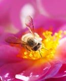 Abeja que recoge la miel Foto de archivo libre de regalías