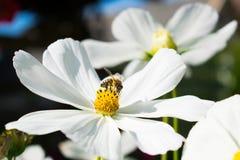 Abeja que recoge la miel de la flor blanca Foto de archivo libre de regalías