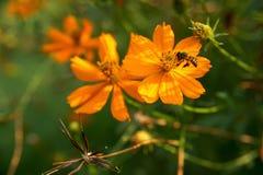 Abeja que recoge la miel de las flores anaranjadas del cosmos Fotos de archivo