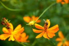 Abeja que recoge la miel de las flores anaranjadas del cosmos Imágenes de archivo libres de regalías