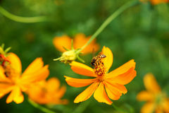Abeja que recoge la miel de las flores anaranjadas del cosmos Foto de archivo