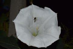 Abeja que recoge la miel de una flor de noche en un jardín Fotografía de archivo libre de regalías