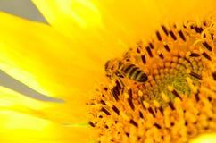 Abeja que recoge la miel del girasol Imágenes de archivo libres de regalías