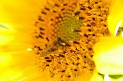 Abeja que recoge la miel del girasol Imagenes de archivo