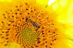Abeja que recoge la miel del girasol Fotografía de archivo