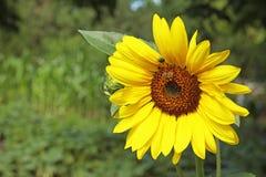 Abeja que recoge la miel del girasol floreciente Fotografía de archivo libre de regalías