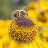 Abeja que recoge la miel en echinacea Fotografía de archivo libre de regalías