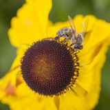 Abeja que recoge la miel en echinacea Imagen de archivo libre de regalías