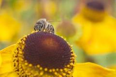 Abeja que recoge la miel en echinacea Fotografía de archivo