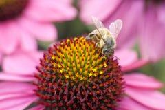 Abeja que recoge la miel en echinacea rosado Imágenes de archivo libres de regalías