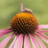 Abeja que recoge la miel en echinacea rosado Fotos de archivo