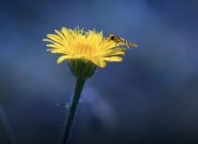 Abeja que recoge la miel en el diente de león Fotos de archivo libres de regalías