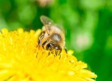 Abeja que recoge la miel en el diente de león Imagenes de archivo