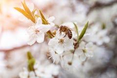 Abeja que recoge la miel en el flor de la manzana Fotos de archivo