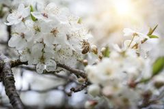 Abeja que recoge la miel en el flor de la manzana Imagenes de archivo