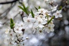 Abeja que recoge la miel en el flor de la manzana Fotos de archivo libres de regalías