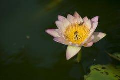 Abeja que recoge la miel en flor de loto rosada Imagen de archivo
