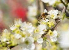Abeja que recoge la miel en un árbol floreciente Fotos de archivo libres de regalías