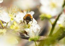 Abeja que recoge la miel en un árbol floreciente Imagen de archivo