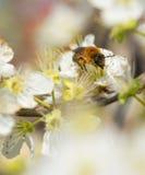 Abeja que recoge la miel en un árbol floreciente Foto de archivo libre de regalías