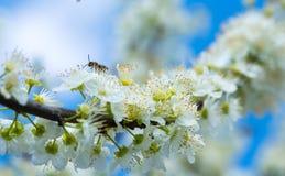 Abeja que recoge la miel en un árbol floreciente en primavera Imagenes de archivo