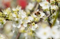 Abeja que recoge la miel en un árbol floreciente en primavera Fotos de archivo