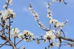 Abeja que recoge la miel en un árbol floreciente en primavera Cielo azul Apicultura Imagen de archivo